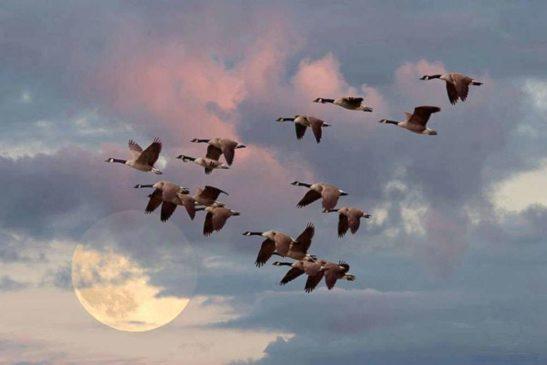 гуси косяком в небе